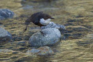 Uccello'd'acqua: Merlo Acquaiolo