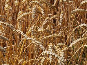 Campo di grano d'orato