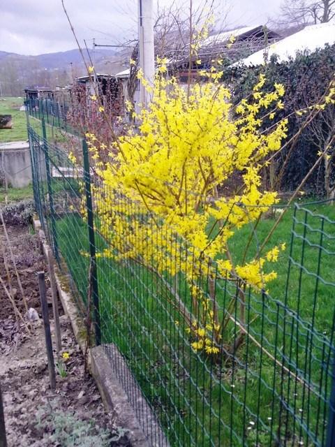 Forsizia fiorita: che sia primavera?