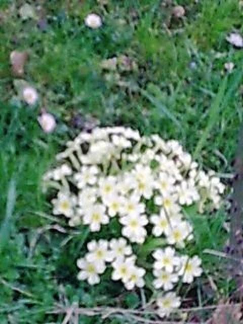 Primule fiorite, ma allora è davvero primavera