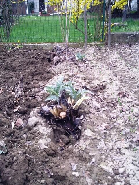 Marzo 2010:L'ultimo cardo,quest'anno nonostante un inverno con periodi molto freddi,grazie ad una buona copertura (rivestitie coperti con terra e mucchi di foglie) si sono conservati perfettamente fino ad ora