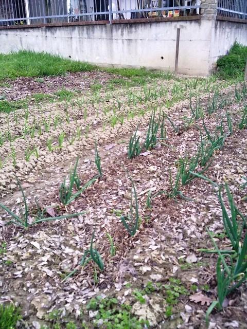 """I primi ortaggi """"nuovi"""" dell'anno: aglio e cipollotti"""