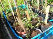 Aprile 2013: i nostri piantini di pomodori/qualità cuore di bue