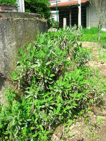 L'inverno non eccessivamente freddo non ha danneggiato la salvia del nostro orto