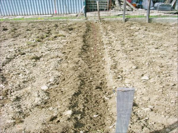 Aprile 2013: semina dello scalogno causa continue piogge non siamo riusciti a farla prima