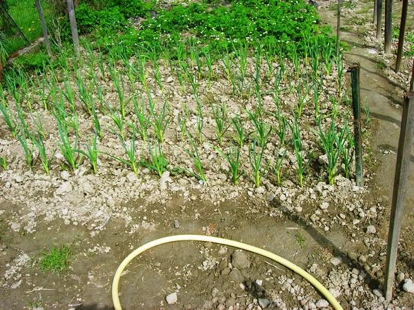 L'aglio seminato a Febbraio è nato perfettamente
