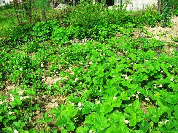 Aprile: da un giorno all'altro le fragole hanno messo i fiori